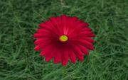 Gerber Papatya Çiçeği 3d model