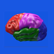 brain color 3d model