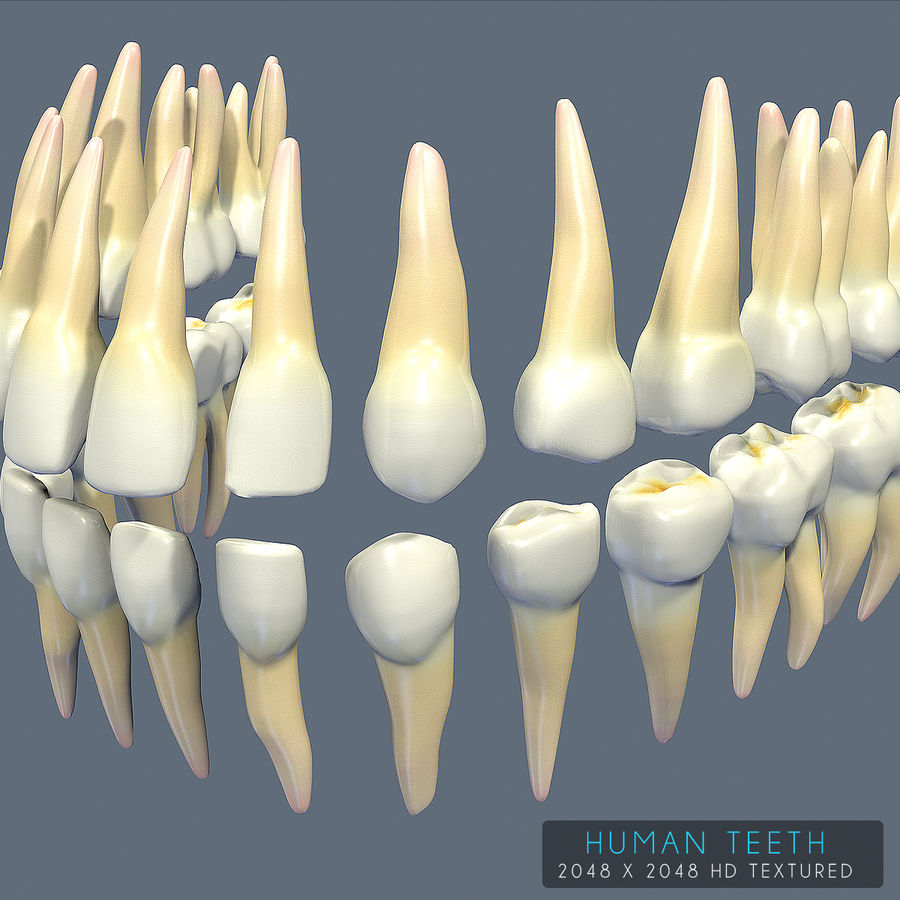Dentes humanos texturizados royalty-free 3d model - Preview no. 19