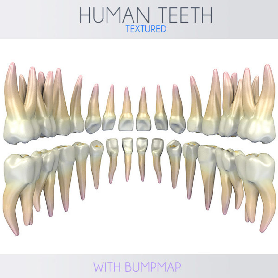 Dentes humanos texturizados royalty-free 3d model - Preview no. 6
