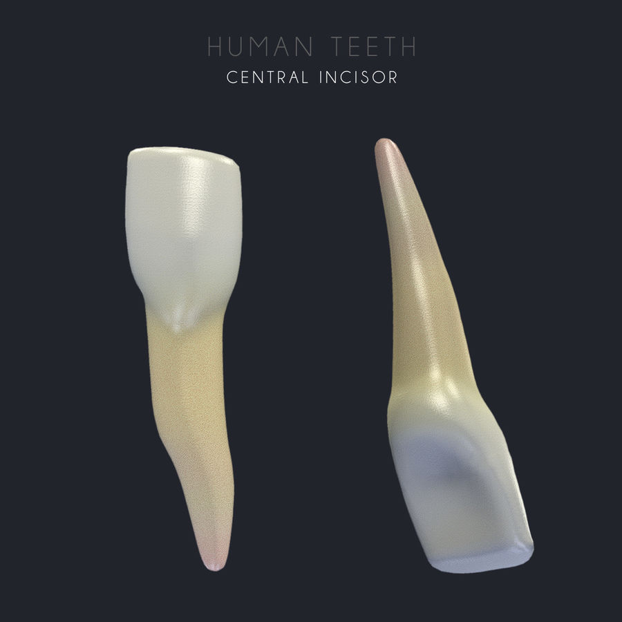 Dentes humanos texturizados royalty-free 3d model - Preview no. 9