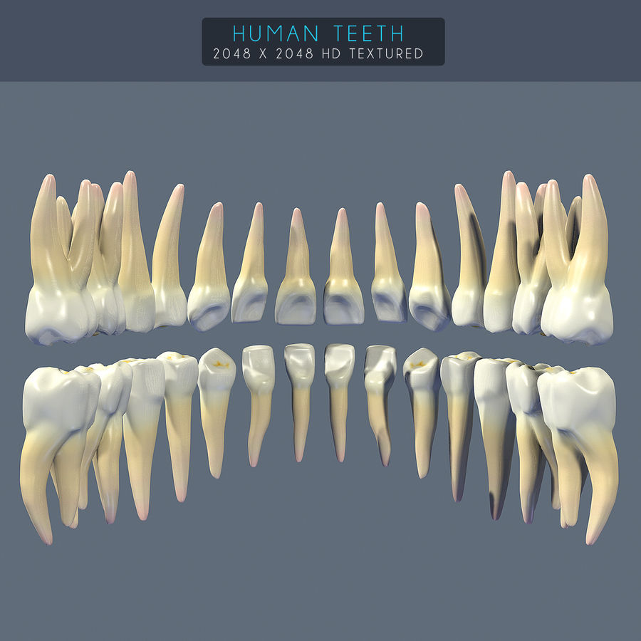 Dentes humanos texturizados royalty-free 3d model - Preview no. 5