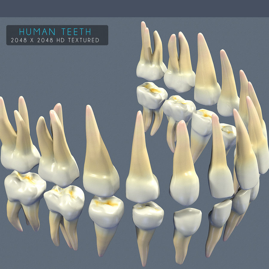 Dentes humanos texturizados royalty-free 3d model - Preview no. 2