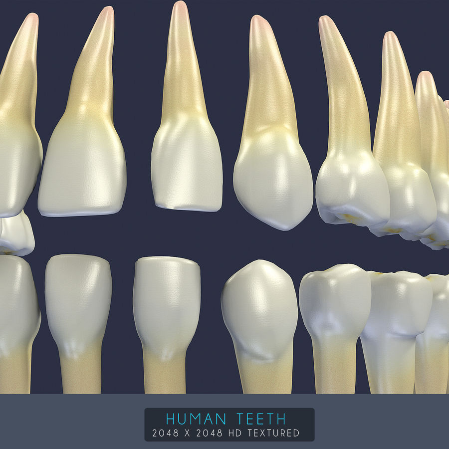 Dentes humanos texturizados royalty-free 3d model - Preview no. 20