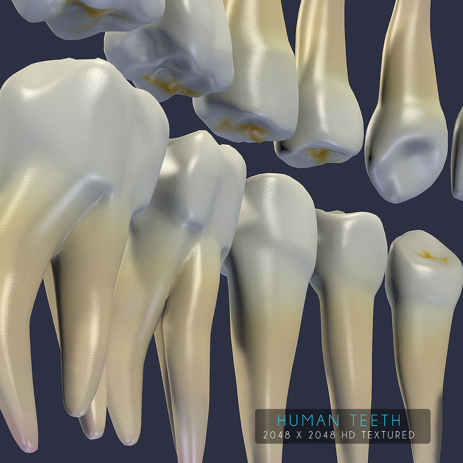 Dentes humanos texturizados royalty-free 3d model - Preview no. 4