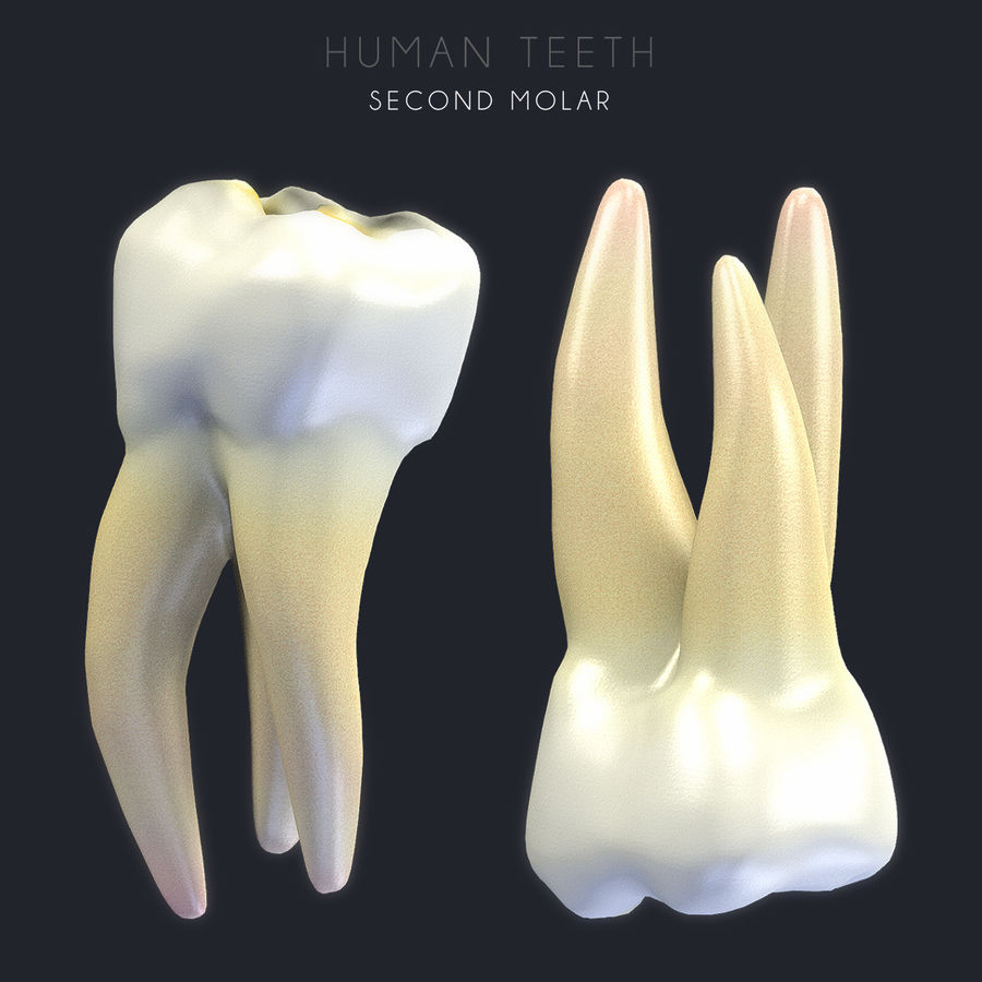Dentes humanos texturizados royalty-free 3d model - Preview no. 8