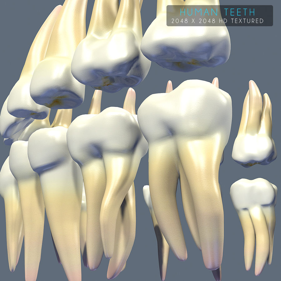 Dentes humanos texturizados royalty-free 3d model - Preview no. 10