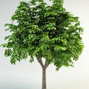 horse-chestnut conker tree 3d model