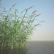 Common Reed Grass 3d model