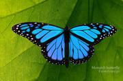 Niebieski motyl 3d model