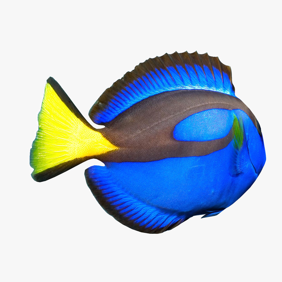 Pacific Blue Tang royalty-free 3d model - Preview no. 2