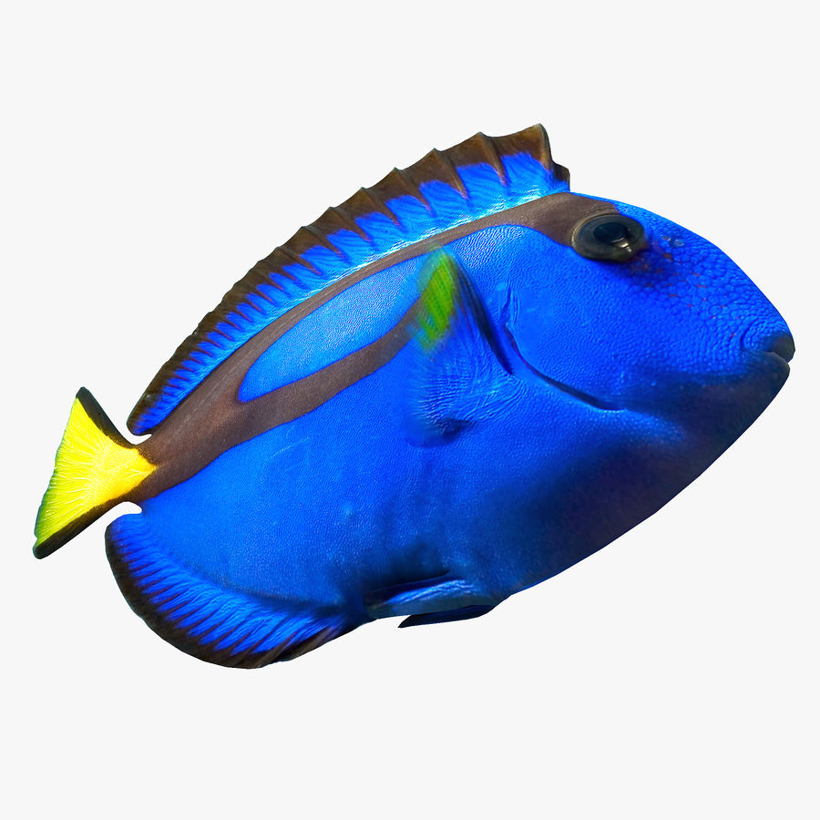 Pacific Blue Tang royalty-free 3d model - Preview no. 4