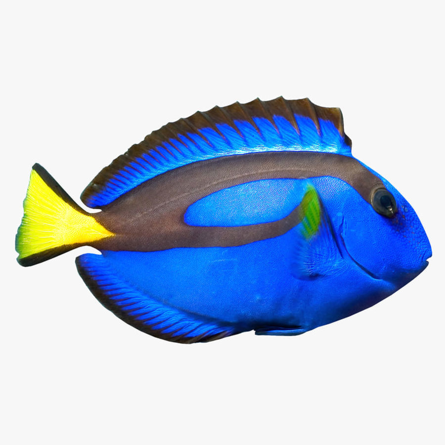 Pacific Blue Tang royalty-free 3d model - Preview no. 1