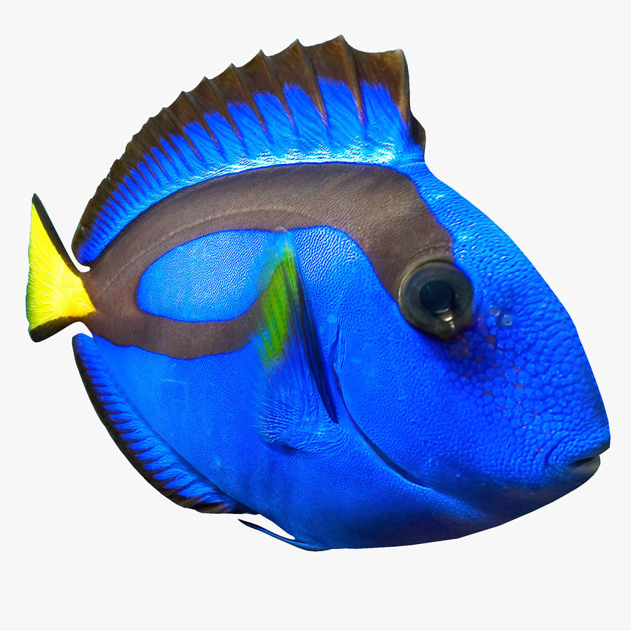 Pacific Blue Tang royalty-free 3d model - Preview no. 3