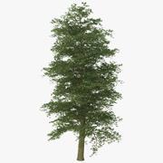 European Beech Tree 3d model