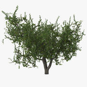 Apricot Tree 2 3d model