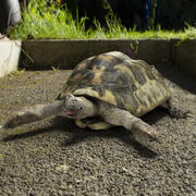 Żółw 3d model