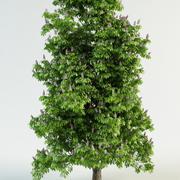 castanha-da-índia Aesculus hippocastanum 3d model
