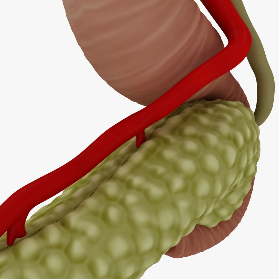 Pancreas Anatomy royalty-free 3d model - Preview no. 15