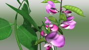 Dolichos Plant 3d model
