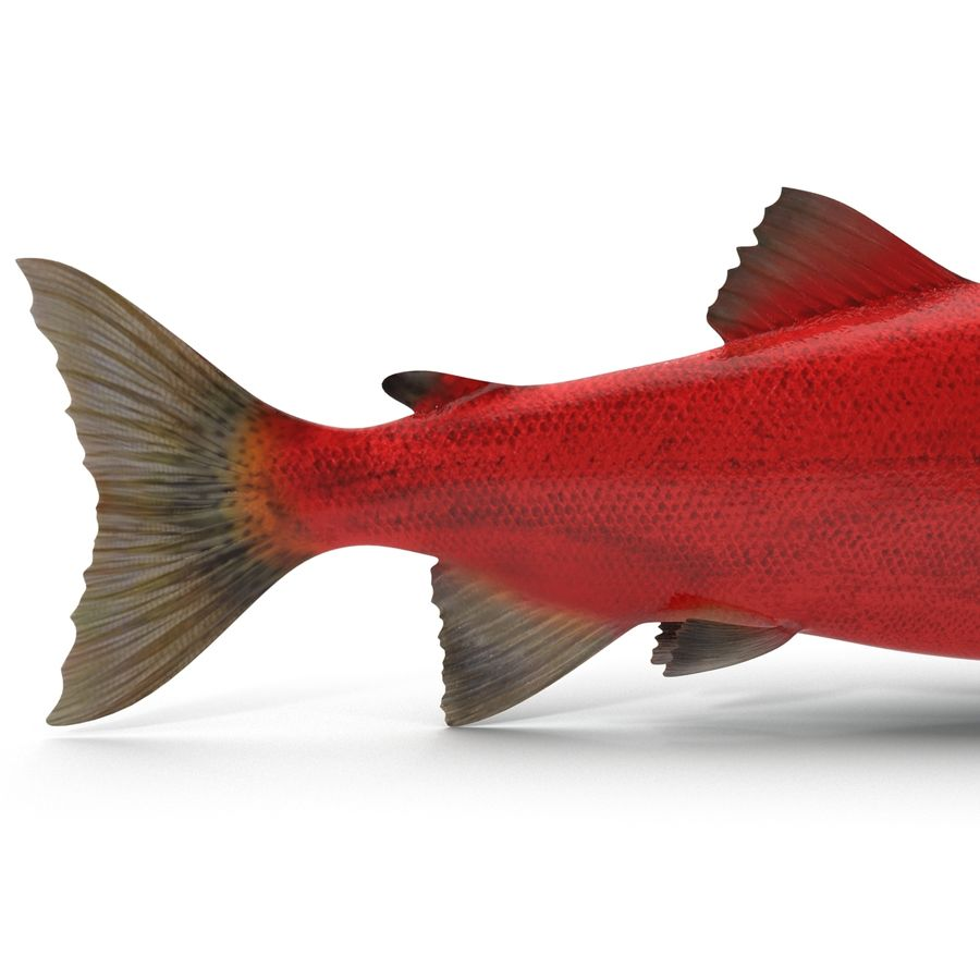 Sockeye Somon Balığı royalty-free 3d model - Preview no. 8