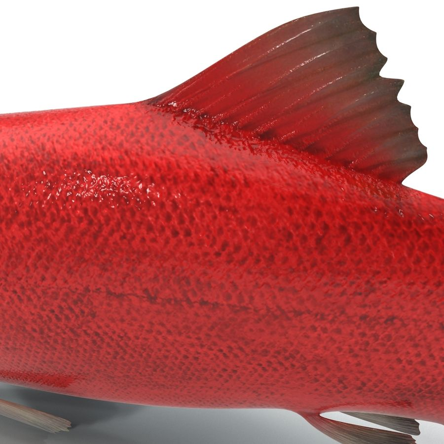 Sockeye Somon Balığı royalty-free 3d model - Preview no. 12