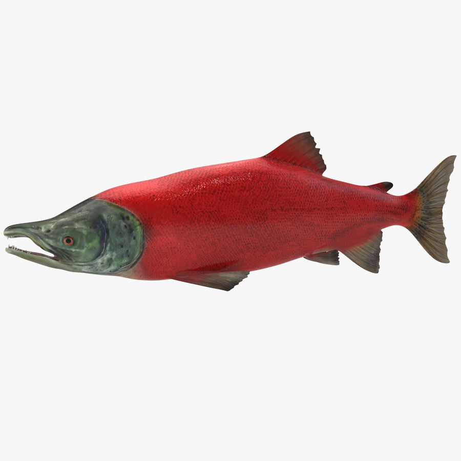 Sockeye Somon Balığı royalty-free 3d model - Preview no. 1