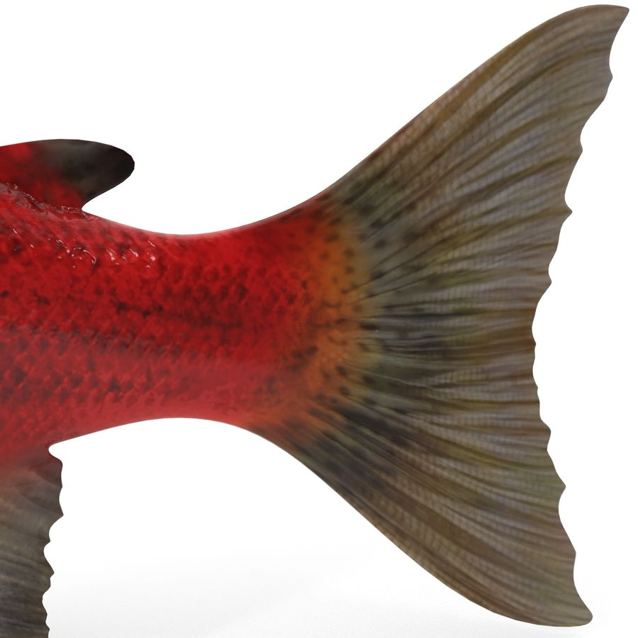 Sockeye Somon Balığı royalty-free 3d model - Preview no. 14