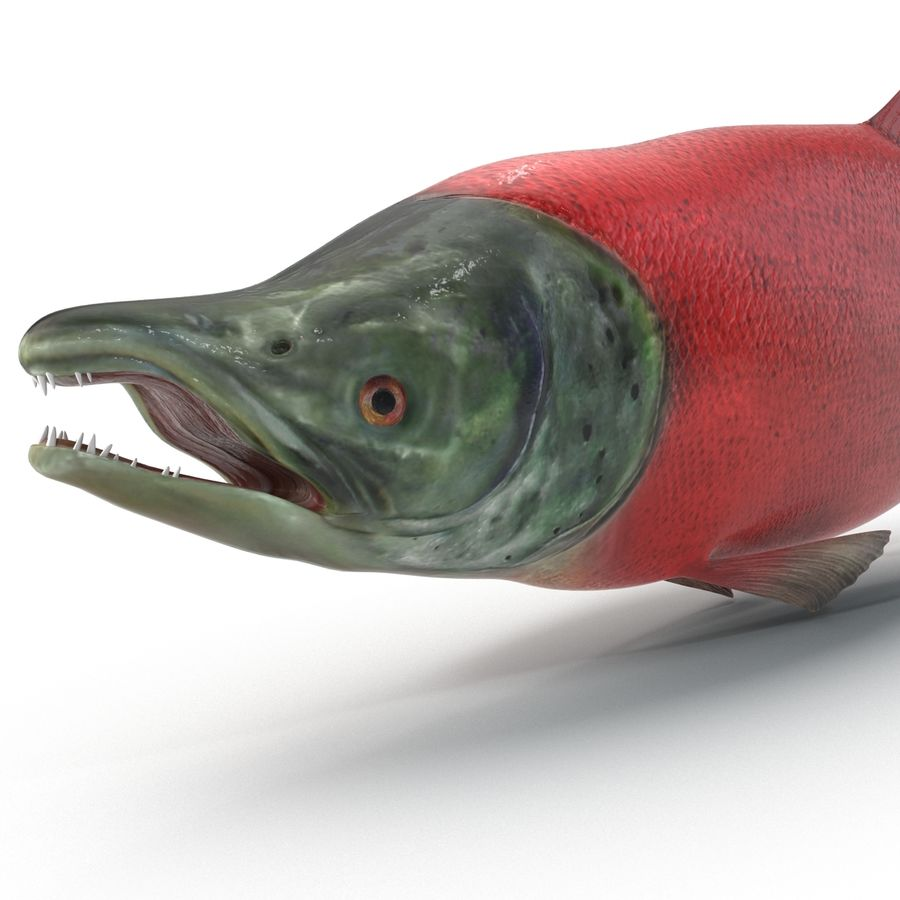 Sockeye Somon Balığı royalty-free 3d model - Preview no. 7