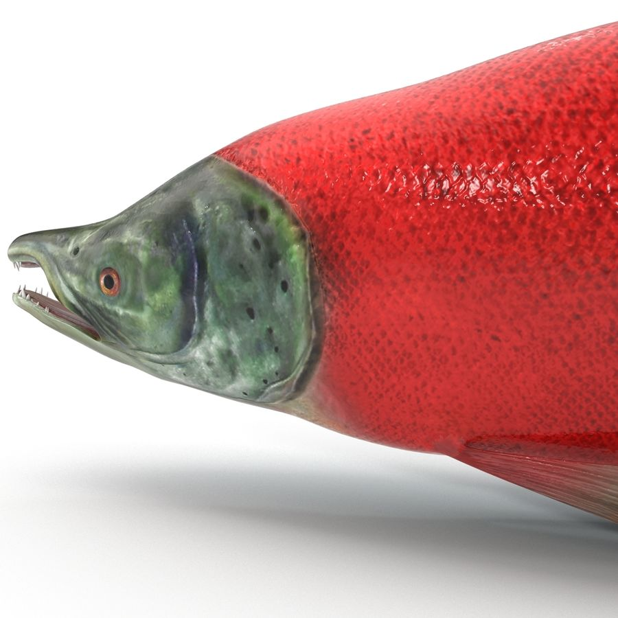 Sockeye Somon Balığı royalty-free 3d model - Preview no. 15