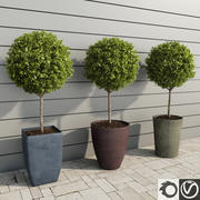 Outdoor Plants: Boxwood Trees 3d model