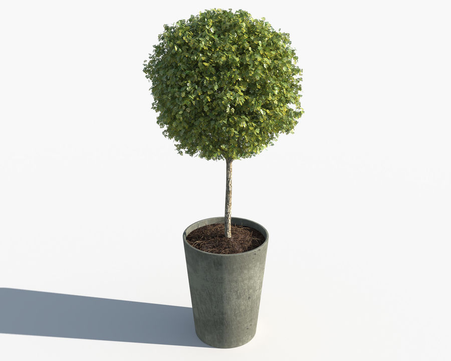 Outdoor Plants: Boxwood Trees royalty-free 3d model - Preview no. 3