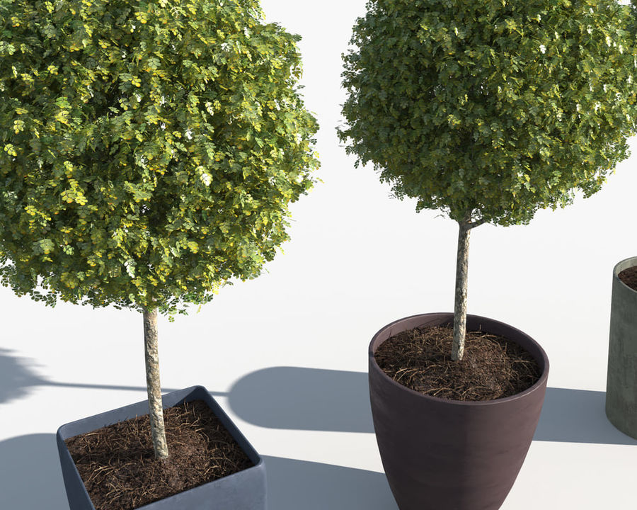 Outdoor Plants: Boxwood Trees royalty-free 3d model - Preview no. 8