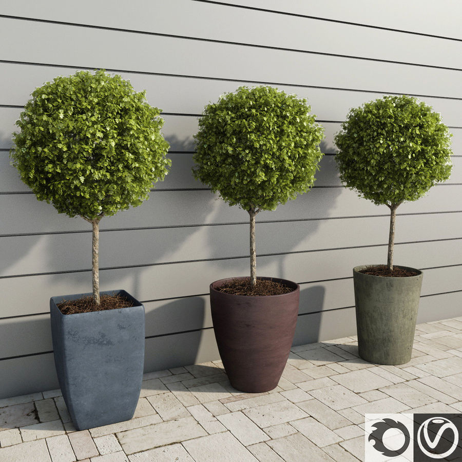Outdoor Plants: Boxwood Trees royalty-free 3d model - Preview no. 1