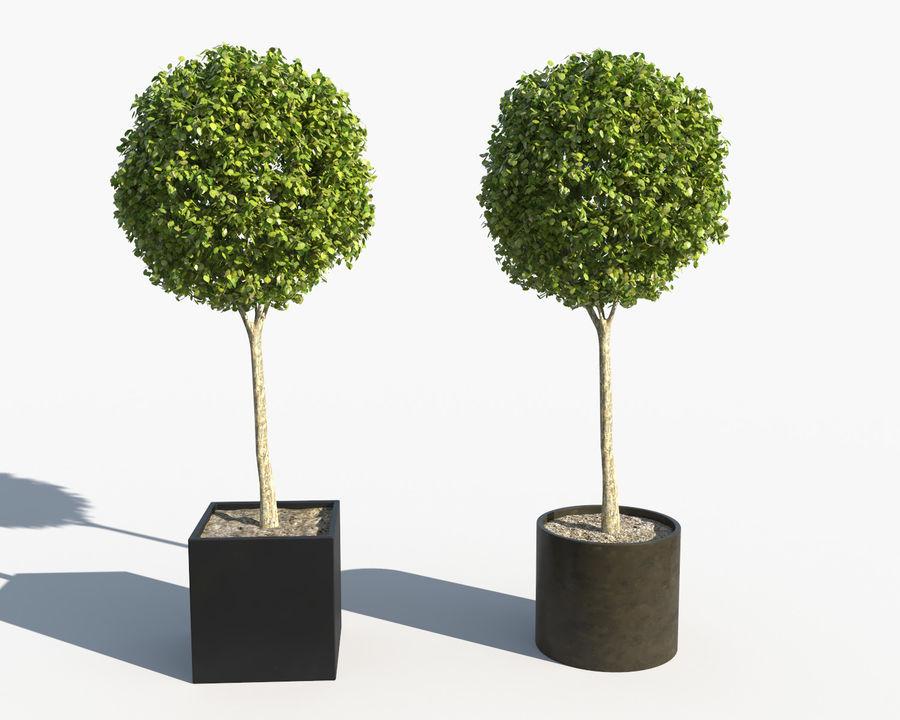 Plantes d'extérieur 2: arbres de buis royalty-free 3d model - Preview no. 3