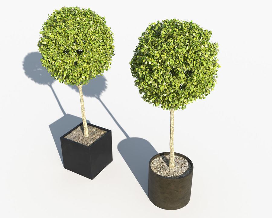 Outdoor Plants 2: Boxwood Trees royalty-free 3d model - Preview no. 5