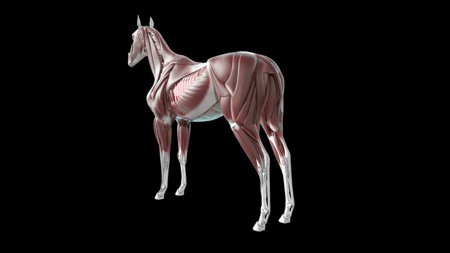 Horse Anatomy royalty-free 3d model - Preview no. 3