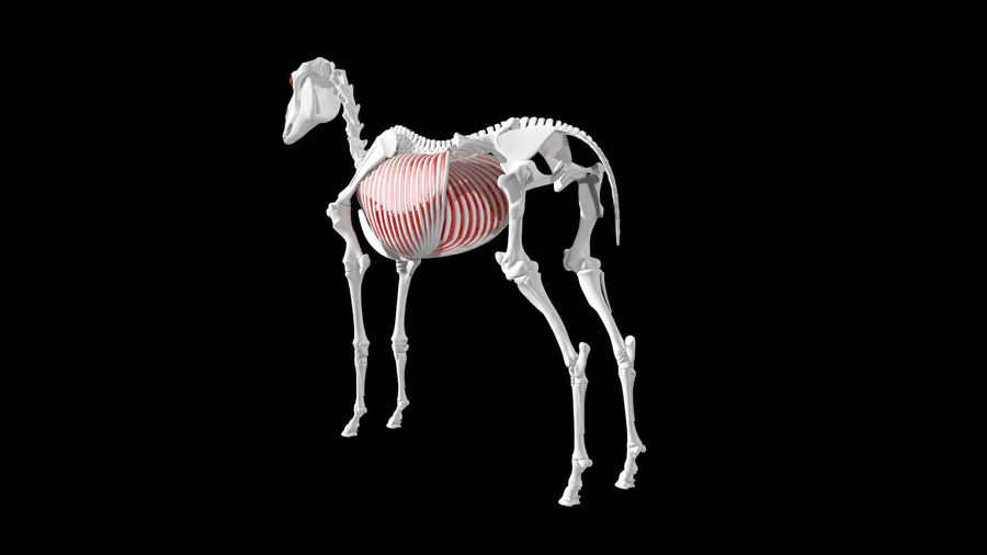 Horse Anatomy royalty-free 3d model - Preview no. 2