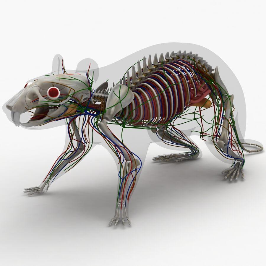 Текстурированная анатомия самцов и самок крыс royalty-free 3d model - Preview no. 6