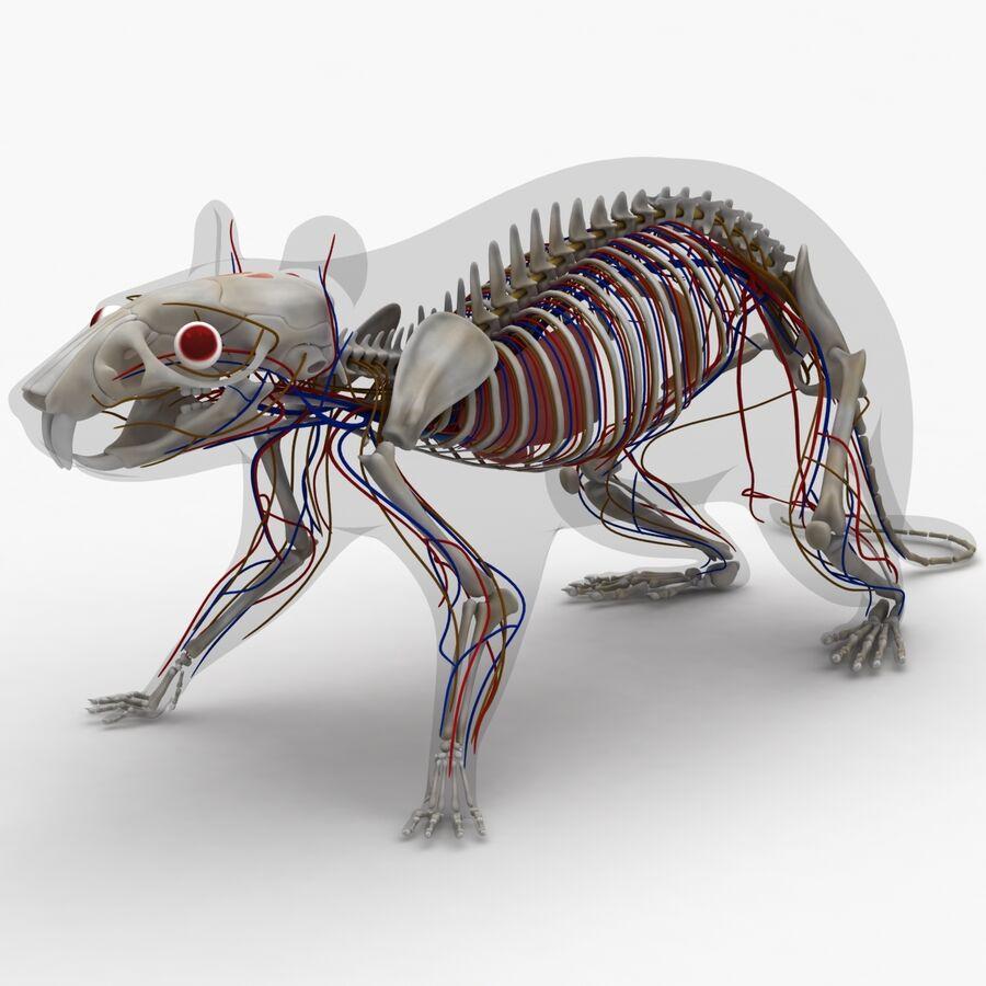 Текстурированная анатомия самцов и самок крыс royalty-free 3d model - Preview no. 5