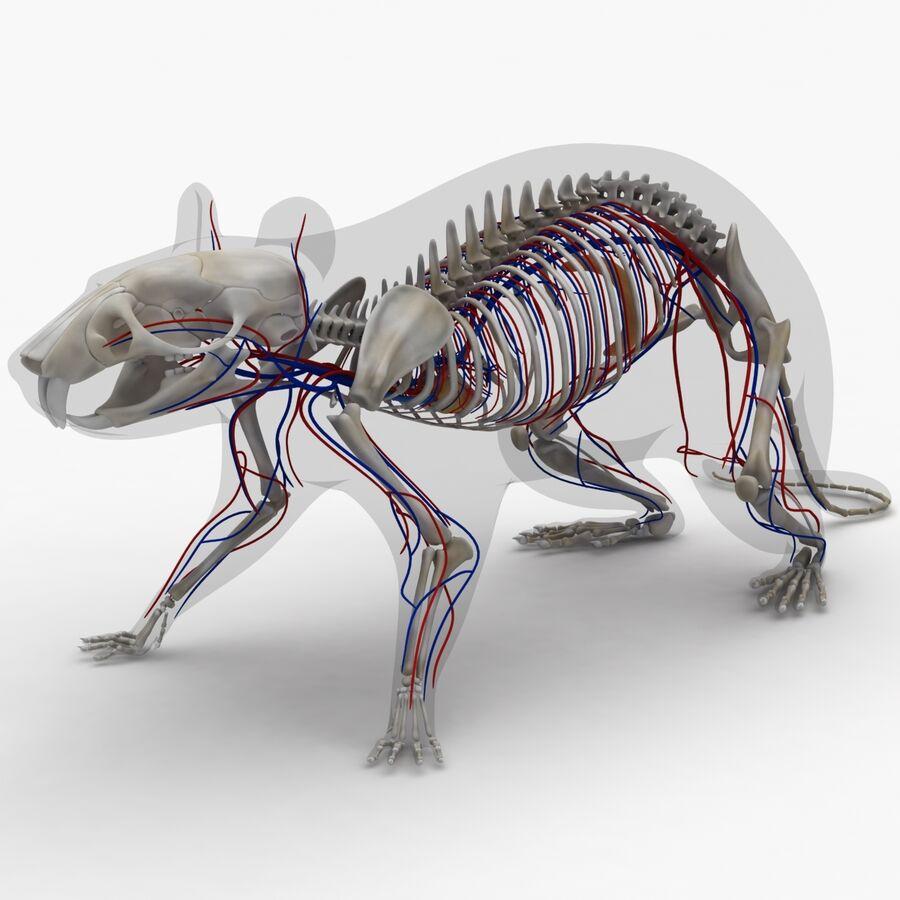 Текстурированная анатомия самцов и самок крыс royalty-free 3d model - Preview no. 4