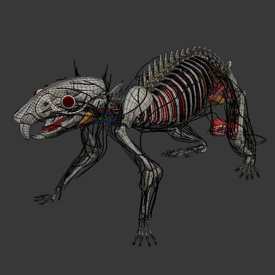 Текстурированная анатомия самцов и самок крыс royalty-free 3d model - Preview no. 21