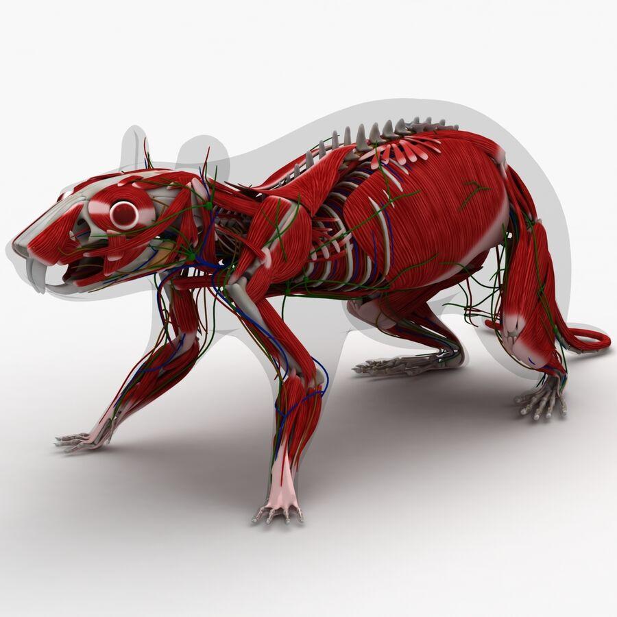 Текстурированная анатомия самцов и самок крыс royalty-free 3d model - Preview no. 8