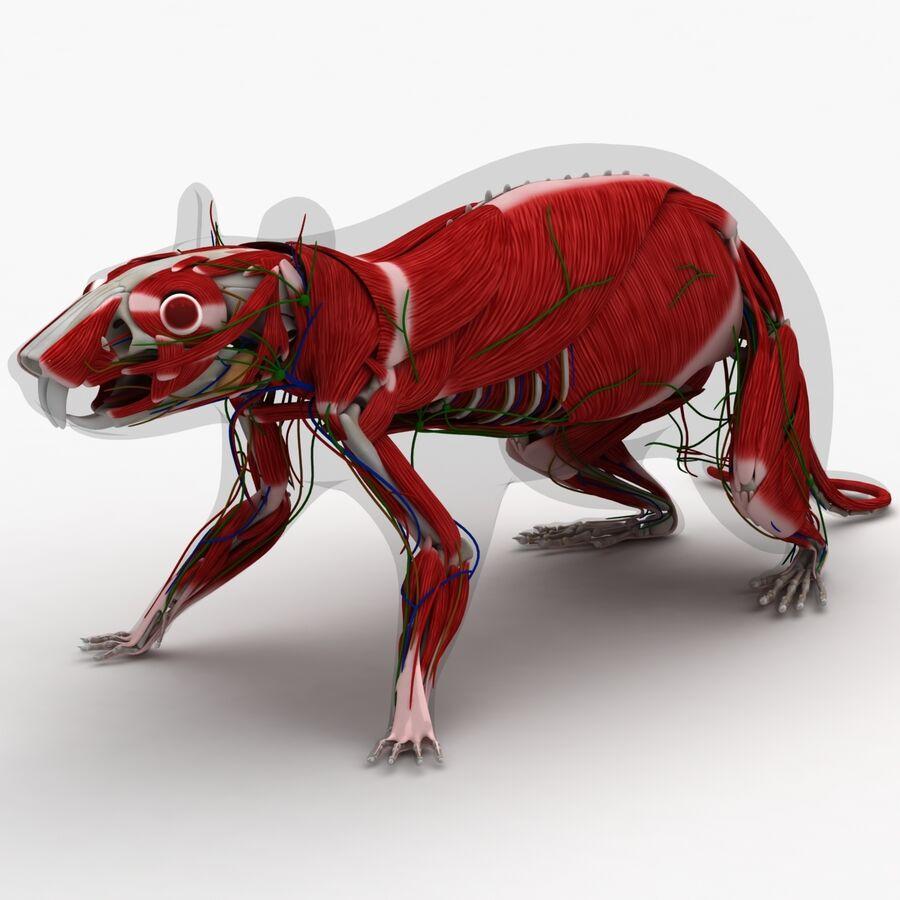 Текстурированная анатомия самцов и самок крыс royalty-free 3d model - Preview no. 7