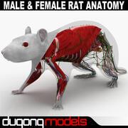 Manlig och kvinnlig råttanatomi strukturerad 3d model