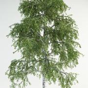 birch tree 5 betula pebdula 3d model