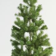 Skott pine pinus sylvestris (1) 3d model