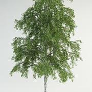 birch tree 4 betula pebdula 3d model