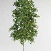birch tree 1 betula pendula 3d model