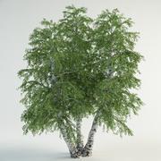 白桦树7桦木pebdula 3d model